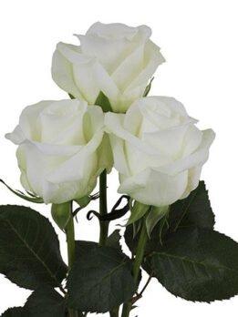 "Роза ""Белуга"" 60 см. Чисто белый цвет розы"