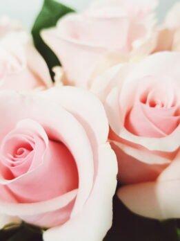 Нежная розовая роза