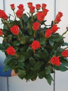 Роза Корвет